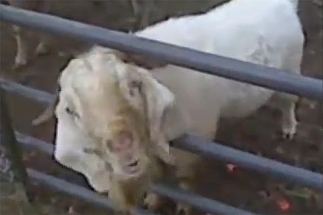 Stupid Goat Sounds (screen grab)